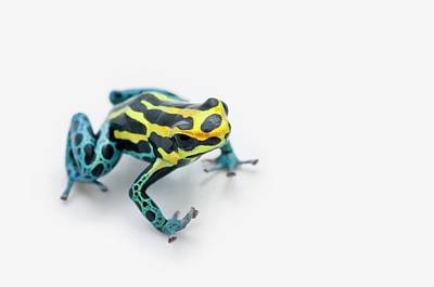 Photograph - Black, Yellow And Blue Poison Dart Frog by Design Pics / Corey Hochachka