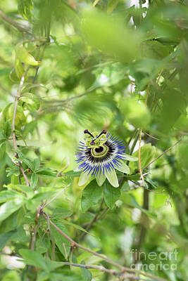 Photograph - Blue Passion Flower In An English Garden by Tim Gainey