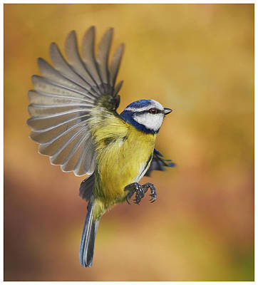 Photograph - Blue Tit by J N Photography