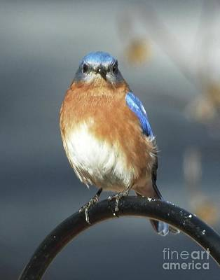 Photograph - Bluebird 47 by Lizi Beard-Ward