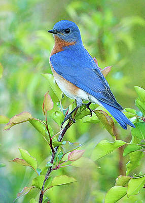 Photograph - Bluebird Joy by William Jobes