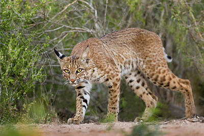 Bobcat Wall Art - Photograph - Bobcat Drinking At Pond On Hot Summer by Larry Ditto