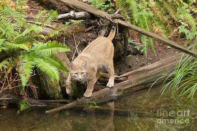 Photograph - Bobcat by Sean Griffin