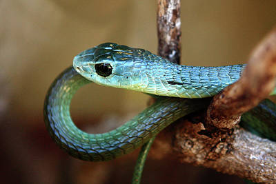 Reptiles Royalty-Free and Rights-Managed Images - Boomslang by Aidan Moran