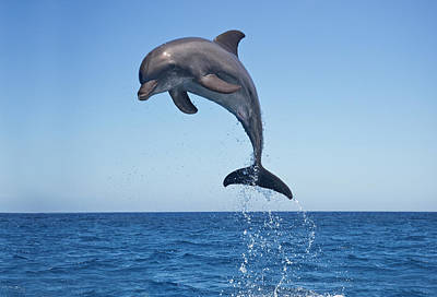 Photograph - Bottle Nosed Dolphin Jumping by Mike Hill