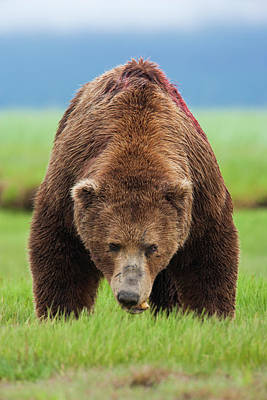 Photograph - Brown Bear, Katmai National Park by Mint Images/ Art Wolfe