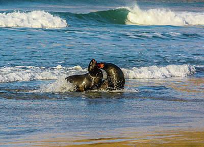 Photograph - Brown Fur Seal  Or Austalasian Fur Seal, by David Butler