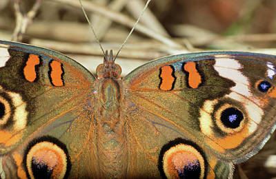 Photograph - Buckeye Butterfly by Larah McElroy
