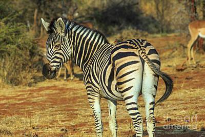 Photograph - Burchells Zebra In Kalahari by Benny Marty