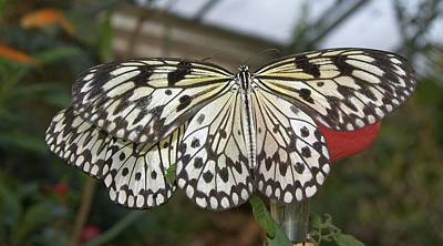 Photograph - Butterfly 2 by Charles HALL