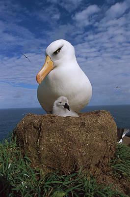 Photograph - Campbell Albatross Thalassarche by Tui De Roy/ Minden Pictures