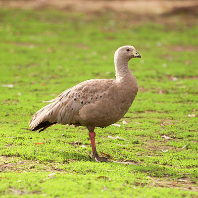 Photograph - Cape Barren Goose Out In Nature by Rob D