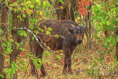 Photograph - Cape Buffalo South Africa by Benny Marty