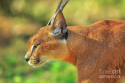Photograph - Caracal Side View by Benny Marty