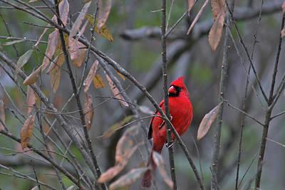 Photograph - Cardinal On Watch 2 by Brad Chambers