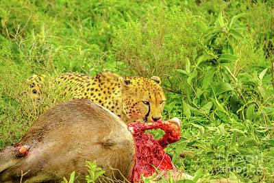 Photograph - Cheetah Eats Tanzania by Benny Marty