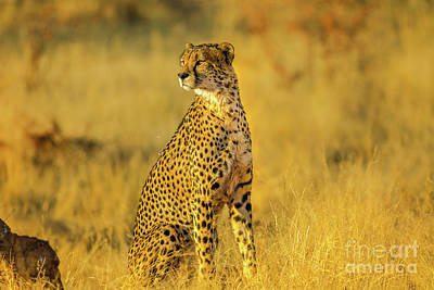 Photograph - Cheetah South Africa by Benny Marty