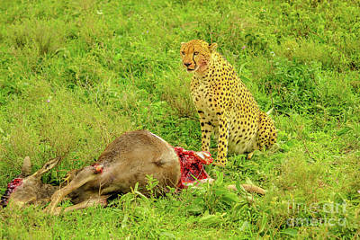 Photograph - Cheetah With Bloody Face by Benny Marty