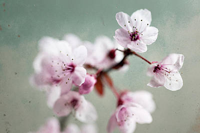 Photograph - Cherry Blossoms by Nicole Young