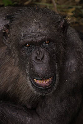 Photograph - Chimpanzee by Kuni Photography
