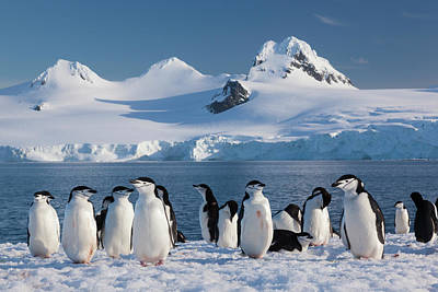 Photograph - Chinstrap Penguins On Half Moon Island by Mint Images - Art Wolfe
