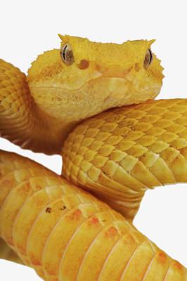 Photograph - Close-up Of An Eyelash Viper by Martin Harvey