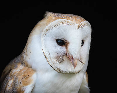 Photograph - Close up view of a barn owl by Tosca Weijers