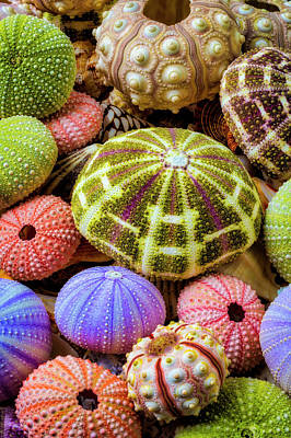 Photograph - Colorful Sea Urchins by Garry Gay