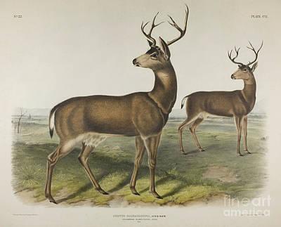 Painting - Columbian Black Tailed Deer by John James Audubon