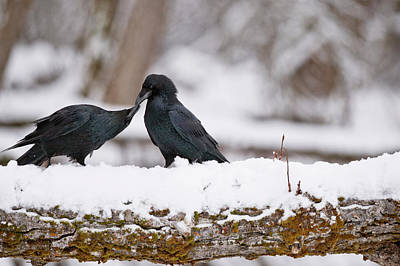Photograph - Common Ravens by William Mullins