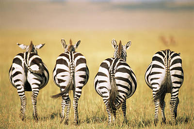 Photograph - Common Zebra Behinds by James Warwick