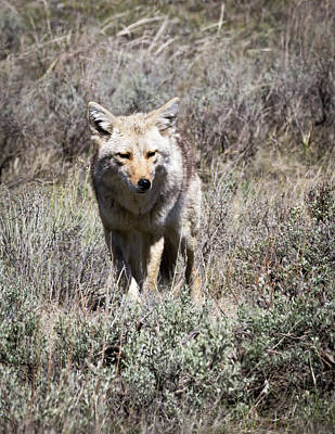 Photograph - Coyote by Michael Chatt