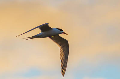 Photograph - Crested Tern In The Early Morning Light by Merrillie Redden
