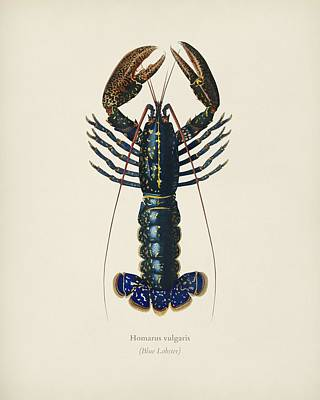 Stocktrek Images - Crimson Crawfish  Palemon Ornatum  illustrated by Charles Dessalines D  Orbigny  1806 1876  2 by Celestial Images