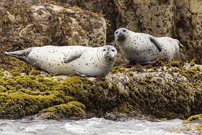 Photograph - Curious Grey Seals by Stefan Mazzola