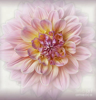 Photograph - Dahlia  by Ann Jacobson