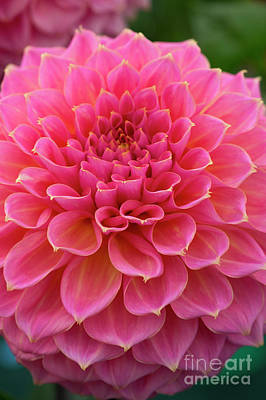 Photograph - Dahlia Avoca Amanda by Tim Gainey