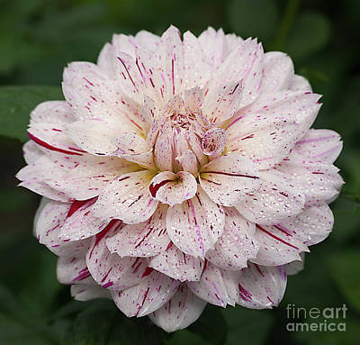 Photograph - Dahlia 'picasso' by Ann Jacobson
