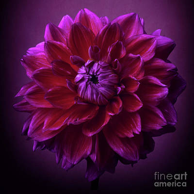 Photograph - Dahlia 'purplicious' by Ann Jacobson