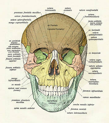No People Photograph - Diagram Of Human Skull by Graphicaartis