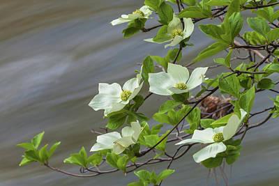 Photograph - Dogwood Blossoms by Jonathan Nguyen