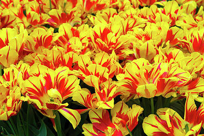 Photograph - Double Early Tulip Monsella In Keukenhof Gardens by Jenny Rainbow