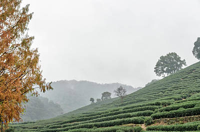 Photograph - Dragon Wall Tea Plantation by Nick Mares