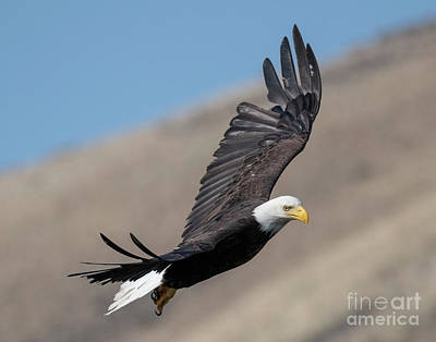 Birds Rights Managed Images - Eagle Eye Royalty-Free Image by Mike Dawson
