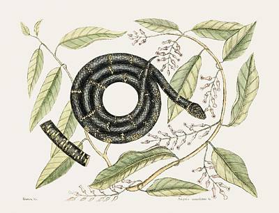 Cartoons Tees - Eastern King Snake Frutex Anguis Annulatus from The natural history of Carolina, Florida, and the by Celestial Images