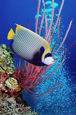 Photograph - Emperor Angelfish Pomacanthus Imperator by Georgette Douwma