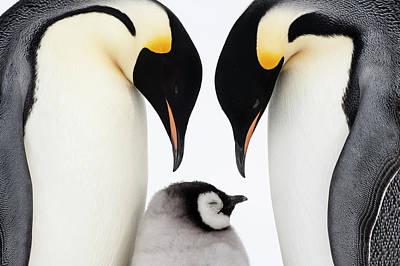 Bird Photograph - Emperor Penguin Aptenodytes Forsteri by Stefan Christmann/ Bia/ Minden Pictures