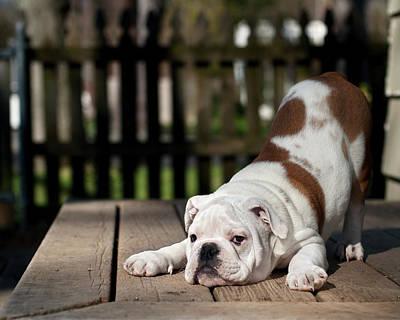 Photograph - English Bulldog Puppy by Jody Trappe Photography