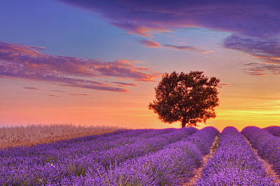 Photograph - English Lavender Field With Tree At by Martin Ruegner