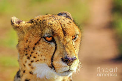 Photograph - Face Cheetah Details by Benny Marty